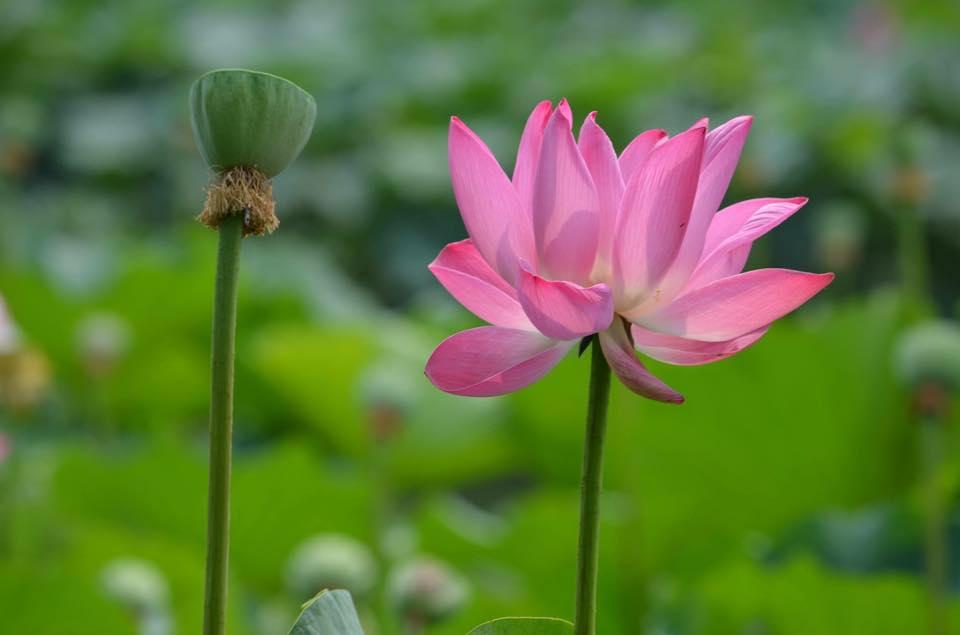 Het symbool van de Lotus is kracht, schoonheid en groei.